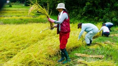 2017-09-02 Rice Harvesting DSC01302
