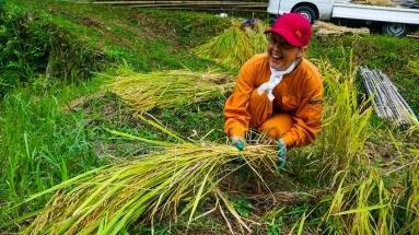 2017-09-02 Rice Harvesting DSC01309
