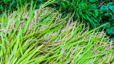 2017-09-02 Rice Harvesting DSC01317