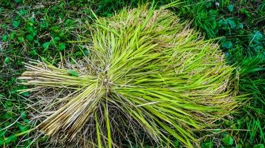 2017-09-02 Rice Harvesting DSC01318