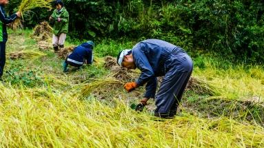 2017-09-02 Rice Harvesting DSC01321