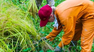 2017-09-02 Rice Harvesting DSC01333