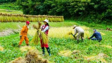 2017-09-02 Rice Harvesting DSC01345
