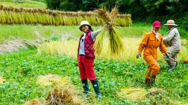 2017-09-02 Rice Harvesting DSC01346