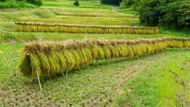 2017-09-02 Rice Harvesting DSC01362