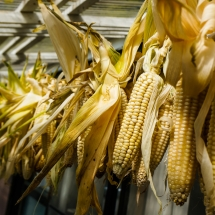 2017-10-11 Drying Corn DSC01917